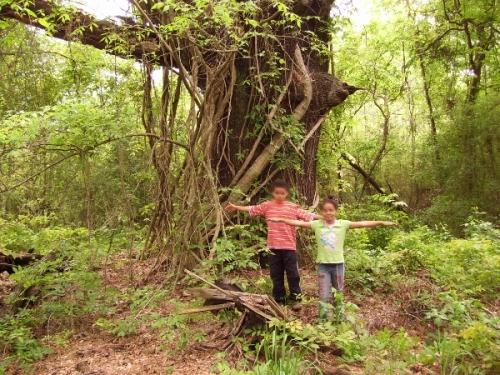 old-pin-oak-tree_2_resized