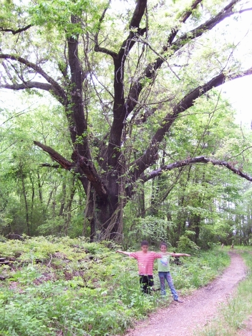 Old Pin Oak Tree